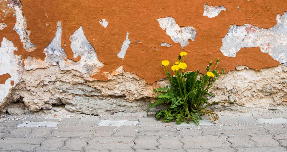 a bunch of dandelions growing out of a crumbling wall
